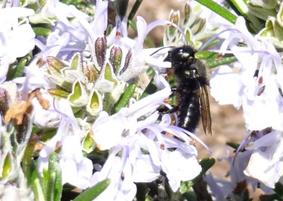 blueorchard-bee