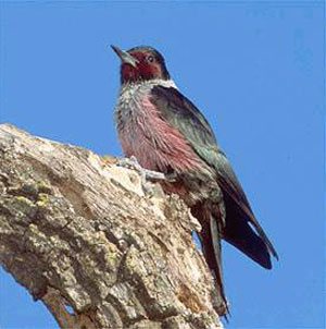 creature_woodpecker