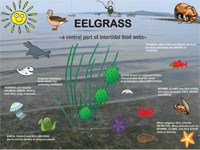 eelgrass-foodweb