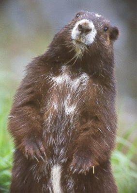 marmot-bobdole