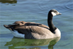 waterfowl-goose