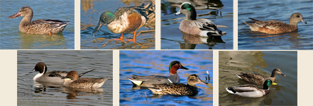 waterfowl-montage-1
