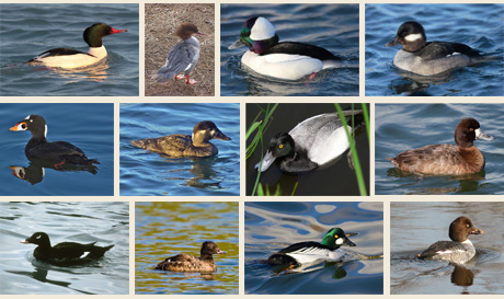 waterfowl-montage-2